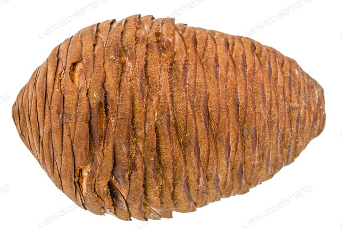 Big of spruce pinecone isolated on a white background