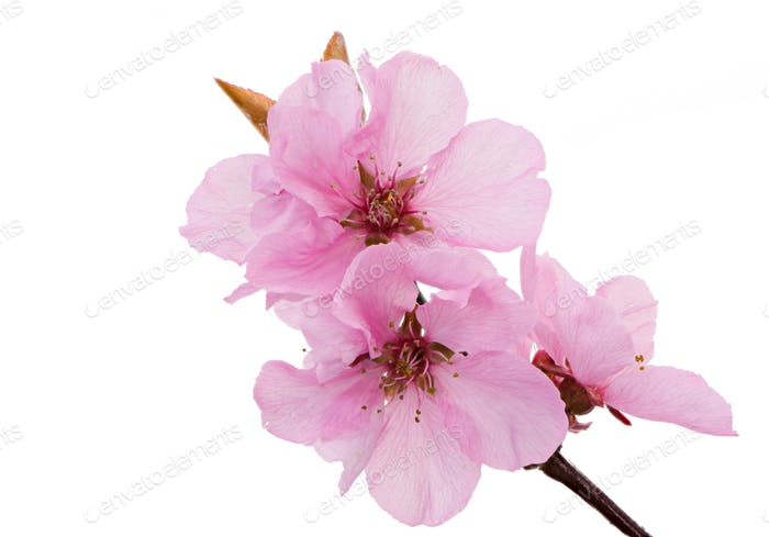 Isolated pink peach blossoms