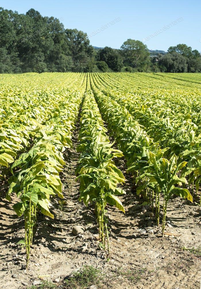Tabak Plantage in Reihen. Tabakblätter industriell anbauen.