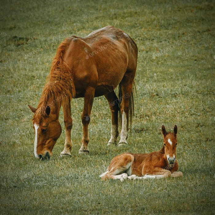 A mother horse and a foal relaxing in a grass