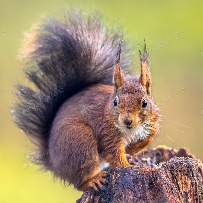 Red squirrel alert on tree trunk