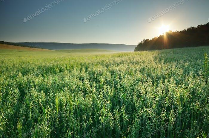 Meadow of oats