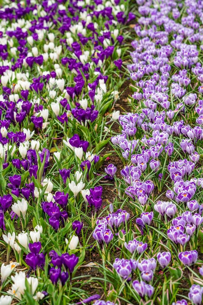 Crocus Field. Krokus blüht im frühen Frühlingsgarten.