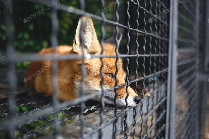 portrait of a sad fox in a cage at the zoo
