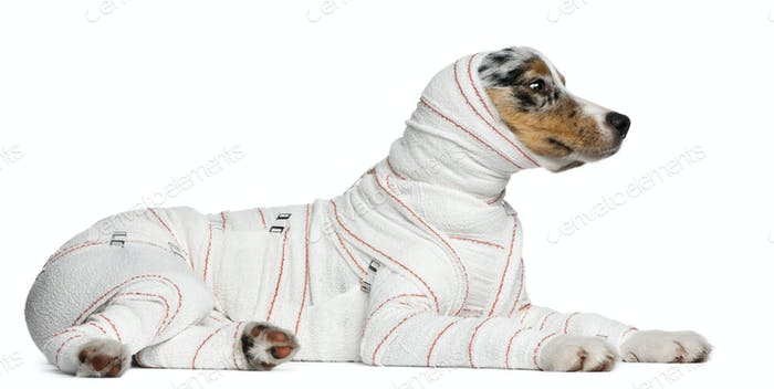 Australian Shepherd puppy in bandages, 5 months old, lying in front of white background