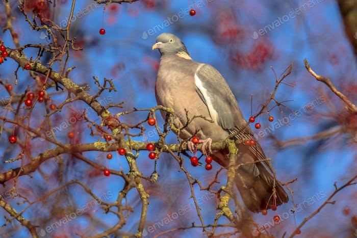 Wood pigeon looking while feeding on berries