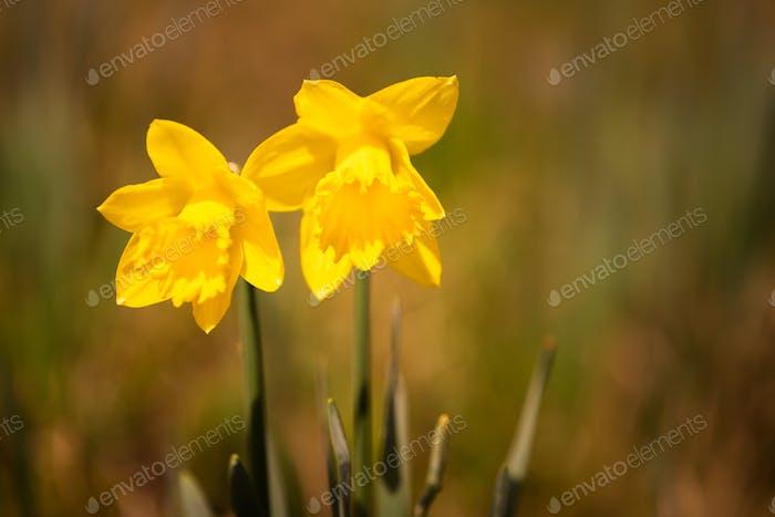 Gelbe Narzissen auf der Wiese vor dem Frühling.