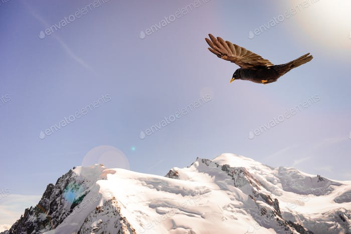 Alpine Chough (Pyrrhocorax graculus) flying against Alps mountai