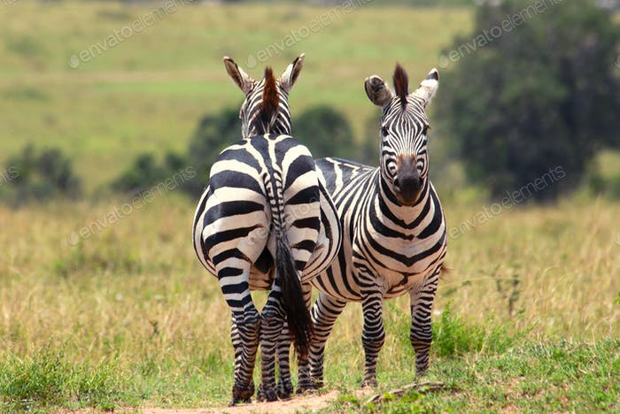 Couple of zebras