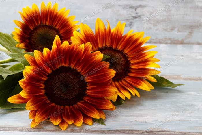 gelb Sonnenblumen Hintergrund