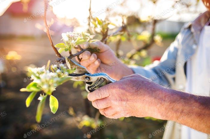 Senior Mann Beschneiden Apfelbaum