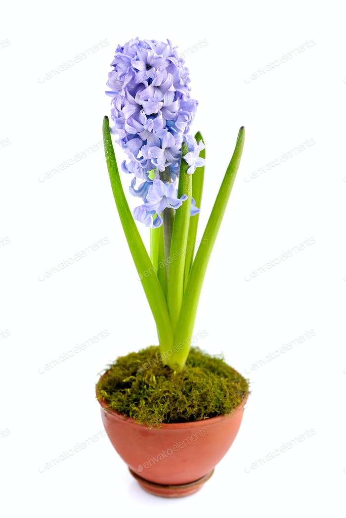 Beautiful blue hyacinth on a white background
