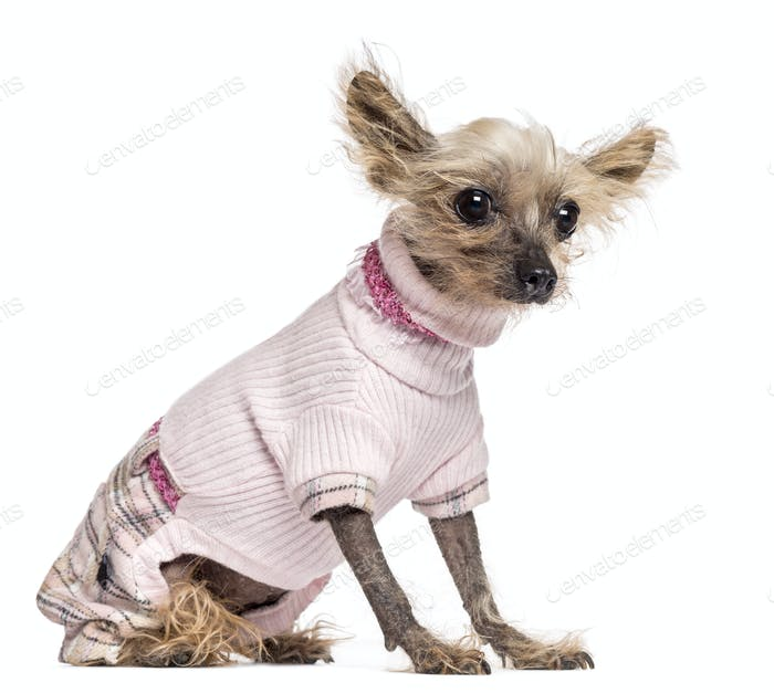 Chinese Crested Dog, 10 years old, dressed in pink, sitting