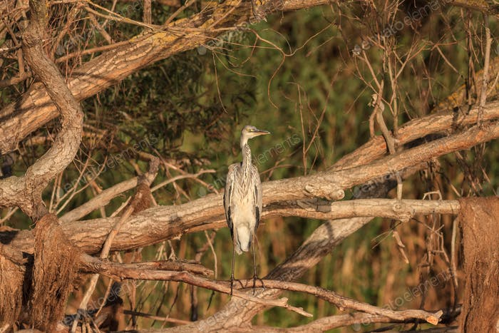 Grey Heron (Ardea cinerea) on branch tree