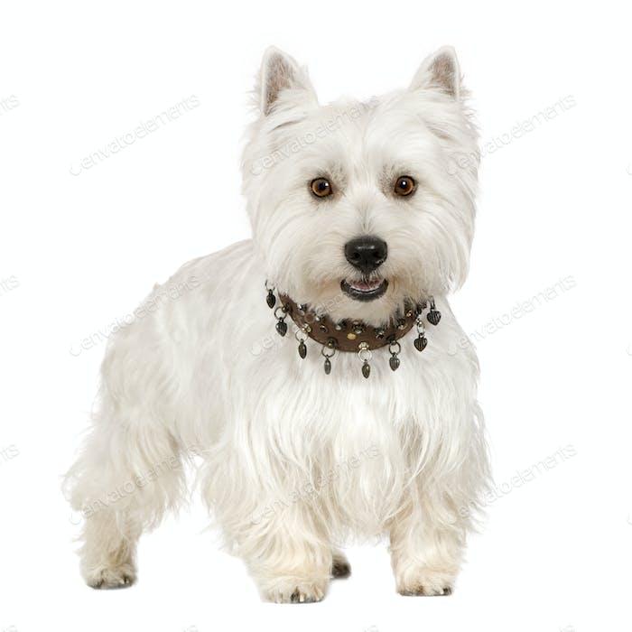 West Highland White Terrier (18 months)