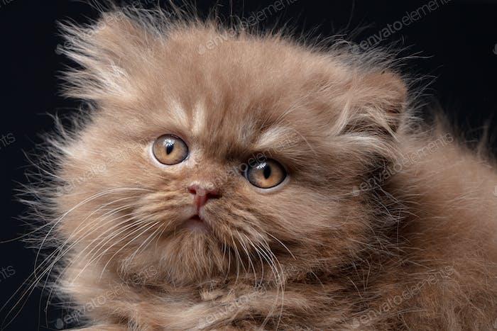 britische lange Haare Kätzchen