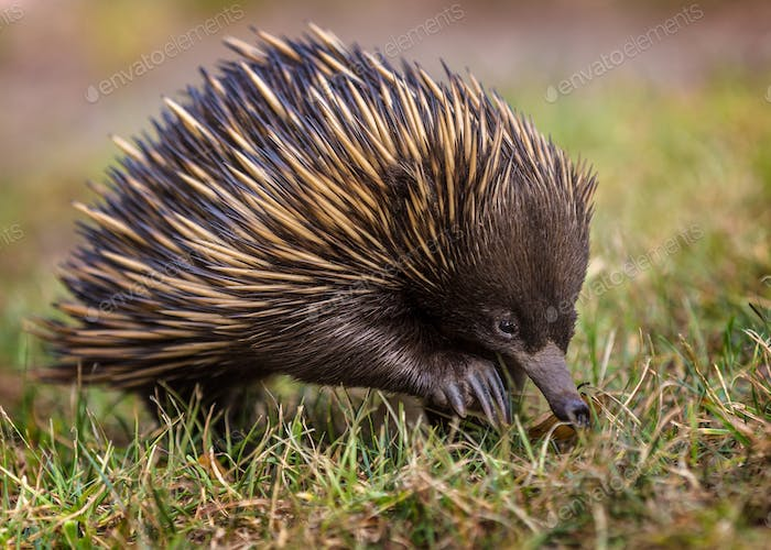 A short-beaked echidna (Tachyglossus aculeatus) walking on the g