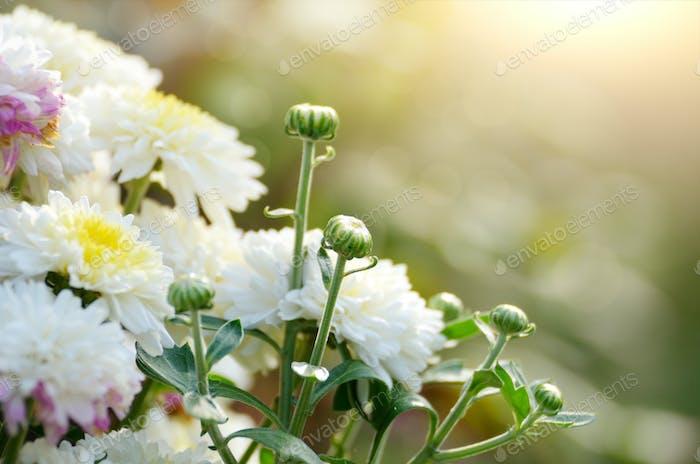 Buntes Herbst-getöntes Chrysanthemen-Blumenbeet gegen Sonnenlicht