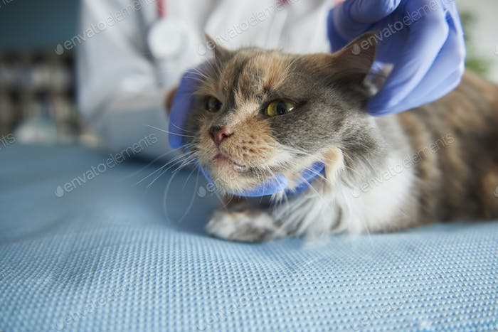 Close up on examined cat