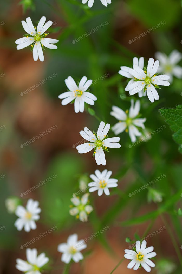 Group of tiny Stitchwort flowers