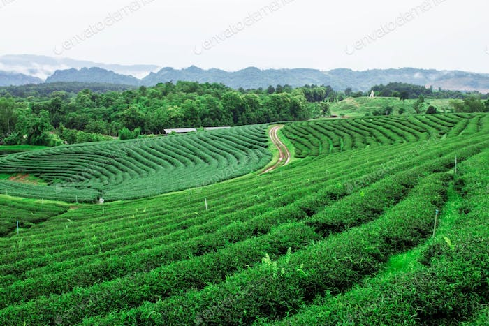 Tea plantation on mountain