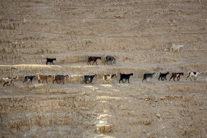 Goats on a steep slope