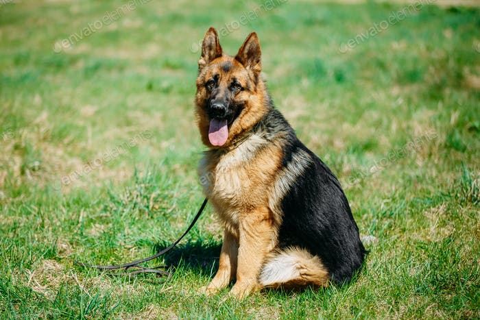 German Shepherd Dog Close Up. Alsatian Wolf Dog Or German Shephe