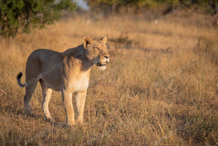 A lioness, Panthera leo, stands in short brown grass, looking out of frame, mouth open, tail curled