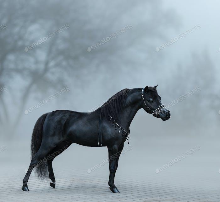 Beautiful black miniature horse standing in fog.