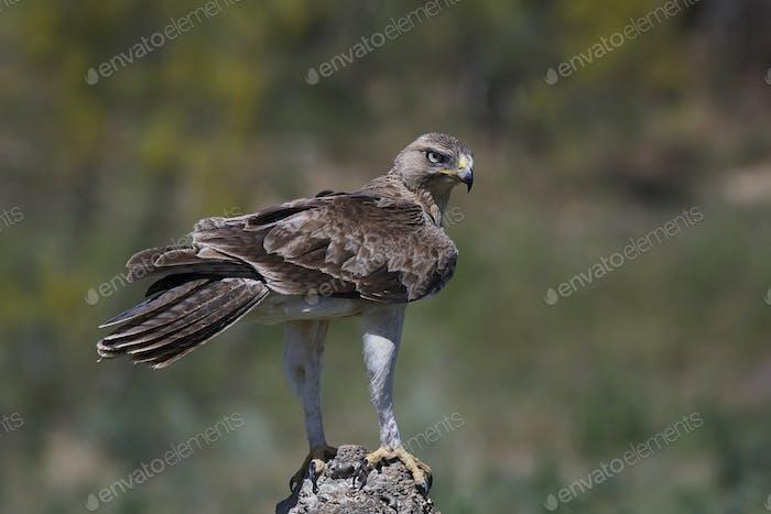 Bonellis eagle (Aquila fasciata)