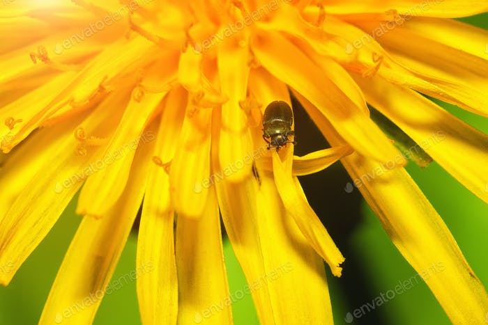 close up of a bug on dandelion flower