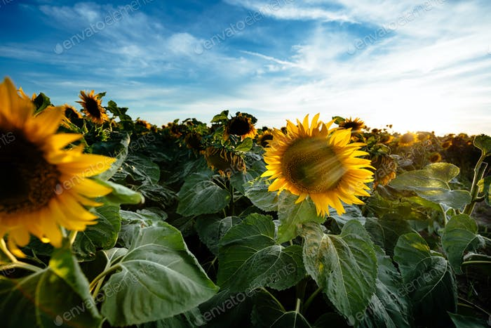 Agriculutural plant , sunflower