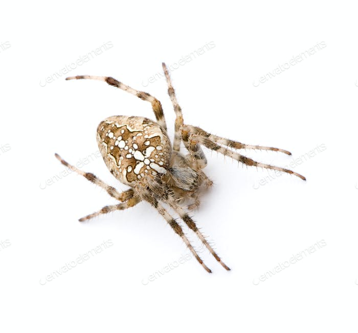 Diadem Spinne - Araneus diadematus