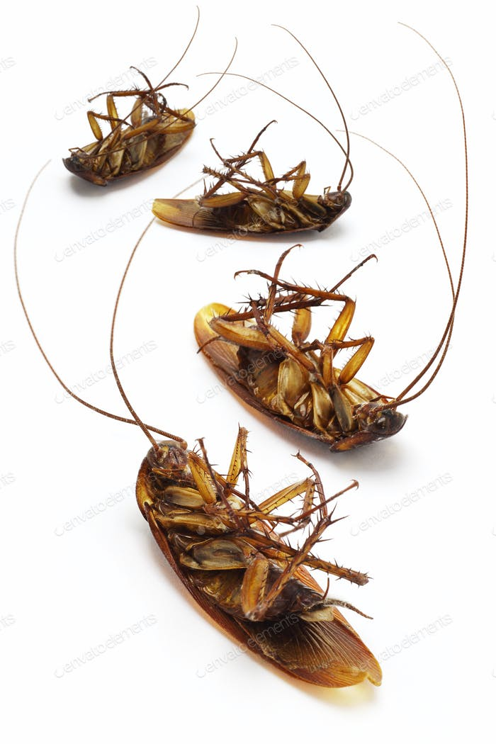 Dead cockroaches
