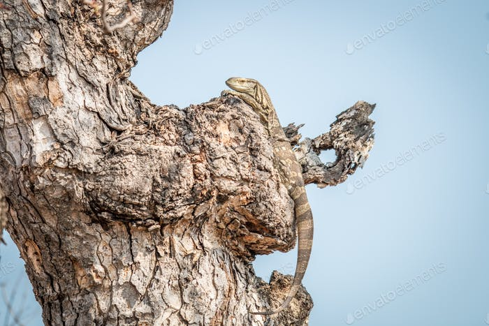 Rock monitor in a tree.