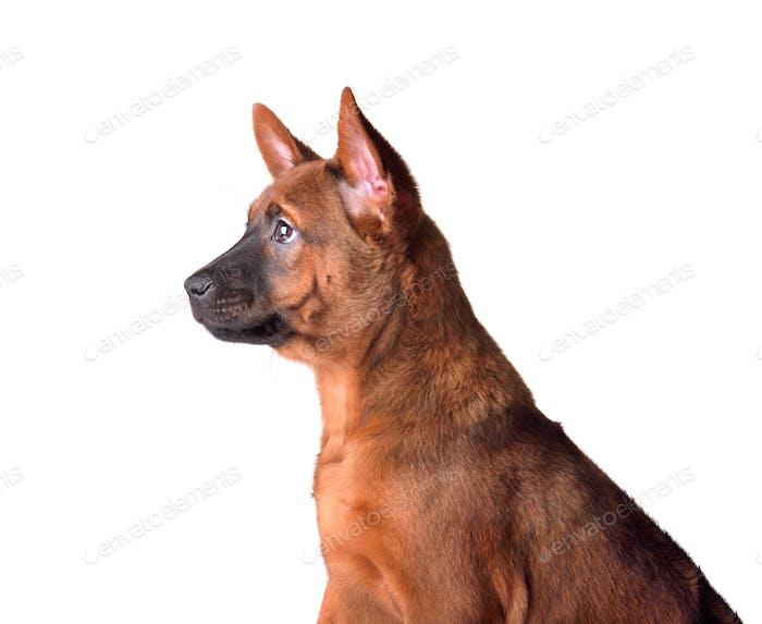 Thai Ridgeback Hund