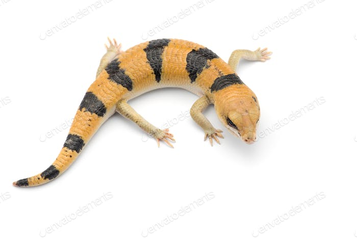 Peters's banded skink isolated on white background