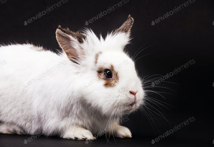 White fancy rabbit over black background