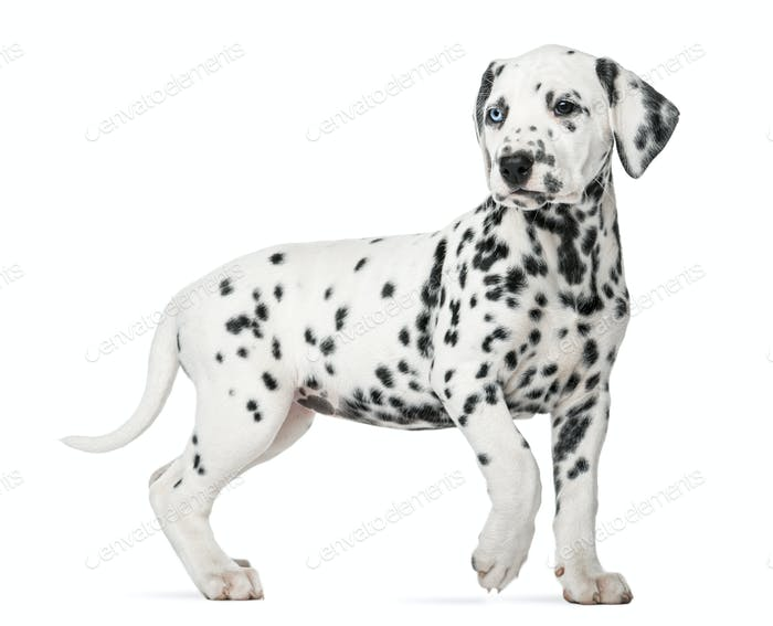 Dalmatian puppy with heterochromia walking in front of a white background