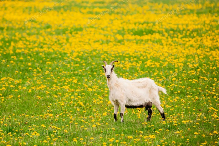 Goat  Grazing In Spring Meadow With Fresh Green Grass And Dandel
