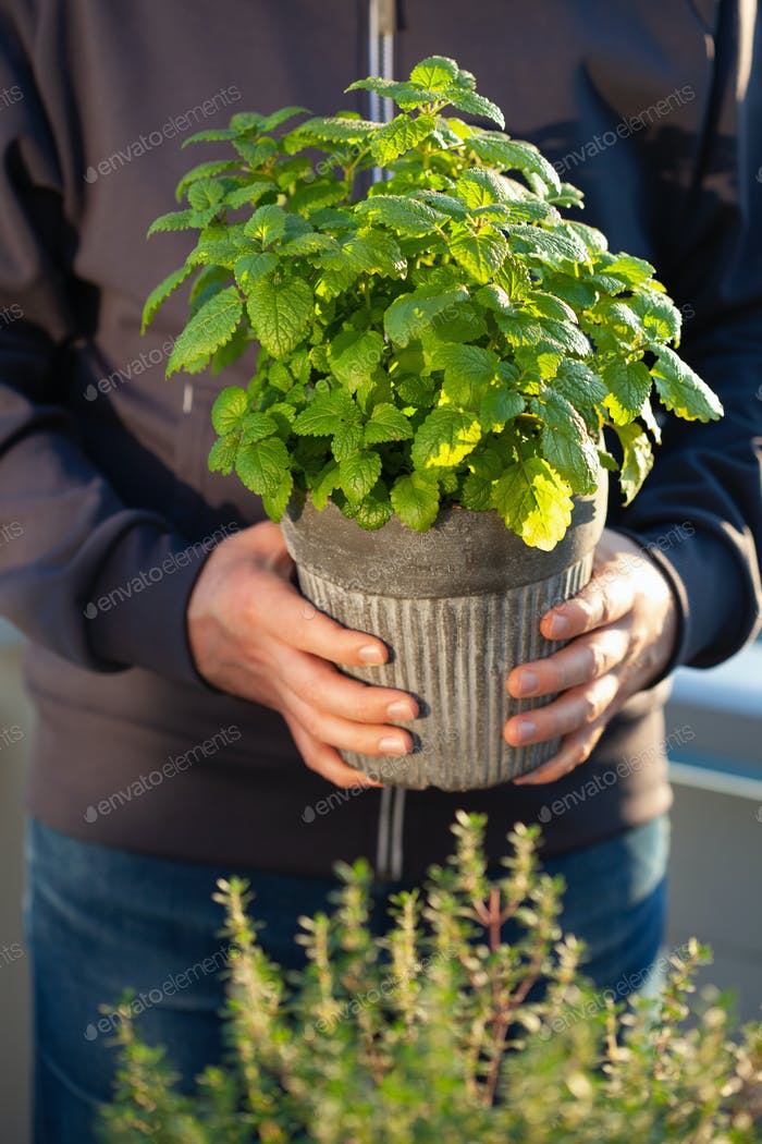 gardener holding lemon balm (melissa) in flowerpot on balcony