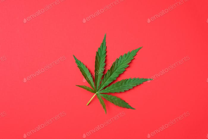 Green hemp leaf on red background. Top view, copy space. Close up of cannabis leaf