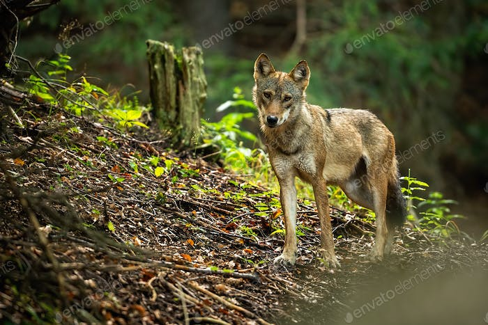 A lovely grey wolf, canis lupus, on the forest slope in summer