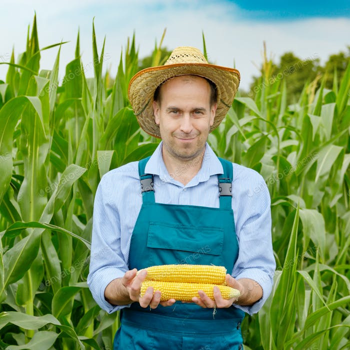 Middle age Farmer hold fresh organic corn cobs in his hands. Har