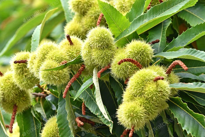 Sweet chestnuts growing on a tree