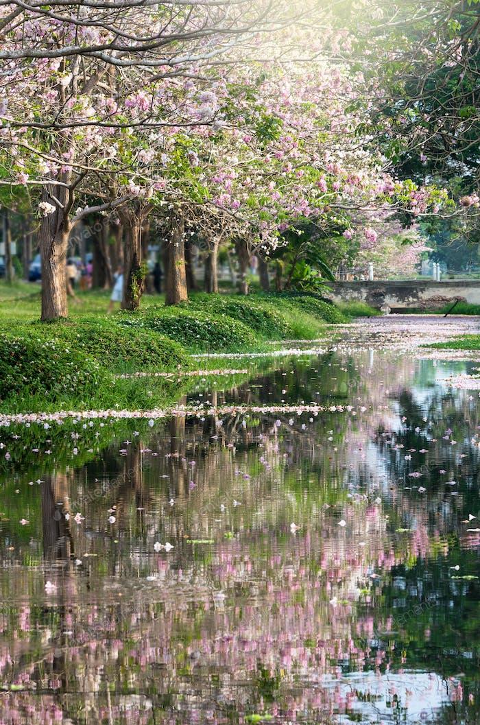 fila de árbol de la trompeta rosa en el parque con el lago