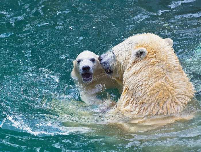Bathing polar bears