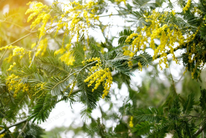 Blooming mimosa tree. Nature concept.  Greeting card for womans day, mothers day. Spring.