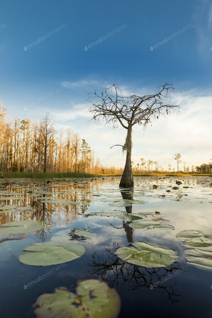 A cypress tree stands in a pond of lily pads, Nymphaeaceae sp. in the Okefenokee swamp.