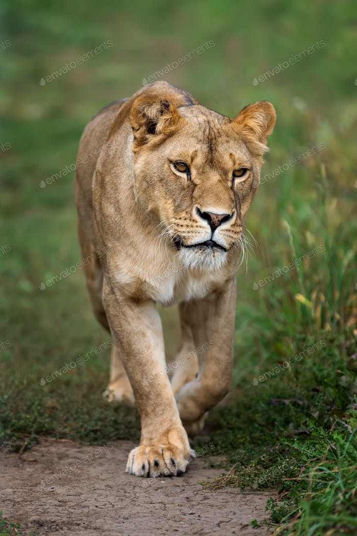Young lion in green grass